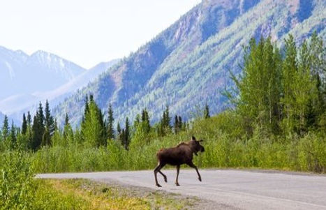 yukon-alaska-highway-moose.cr1998x1999-6