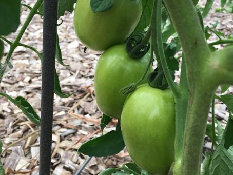 Tomato Blight Buster