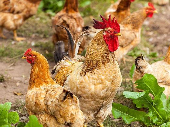 thumbnail_Chickens-farms.jpg