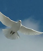 white-dove-forgiveness.jpg