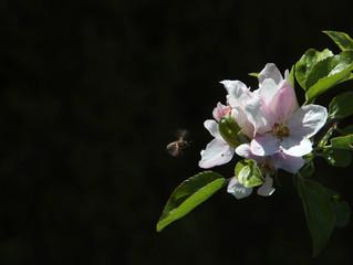 Apfelbaumblüte 3 mit Biene