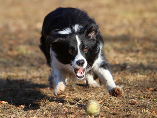 Border Collie in Aktion 1