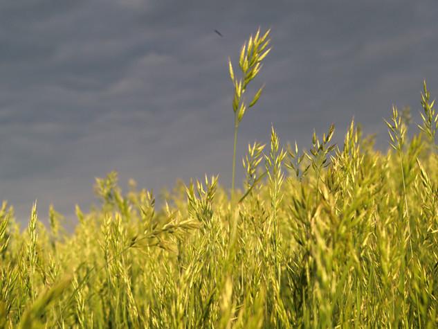 Ein Weizenfeld in der Crete Senesi, Toskana, Italien