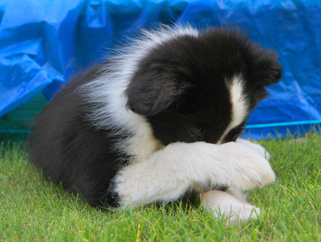 Border Collie Welpe 3