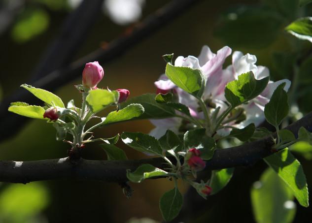 Apfelbaumblüte 2