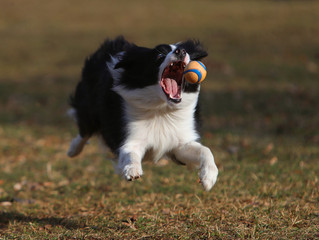 Border Collie in Aktion 6