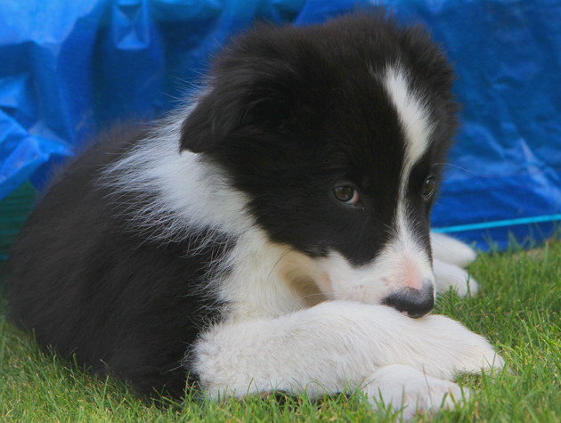 Border Collie Welpe 4