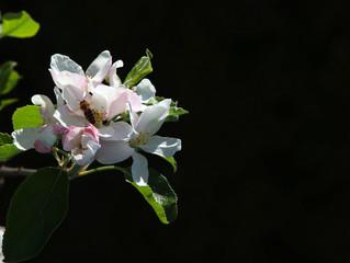 Apfelbaumblüte 1 mit Biene