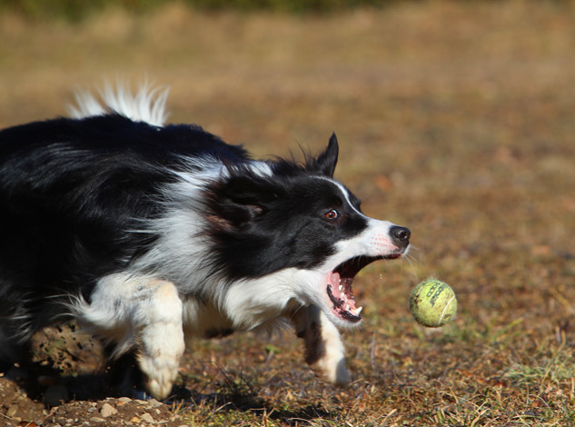 Border Collie in Aktion 2