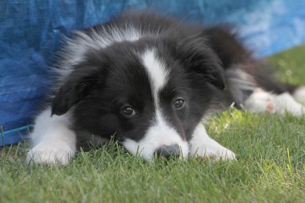 Border Collie Welpe 1