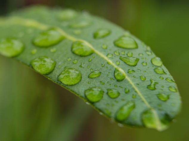 Oleanderblatt mit Wassertropfen