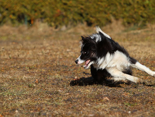 Border Collie in Aktion 5