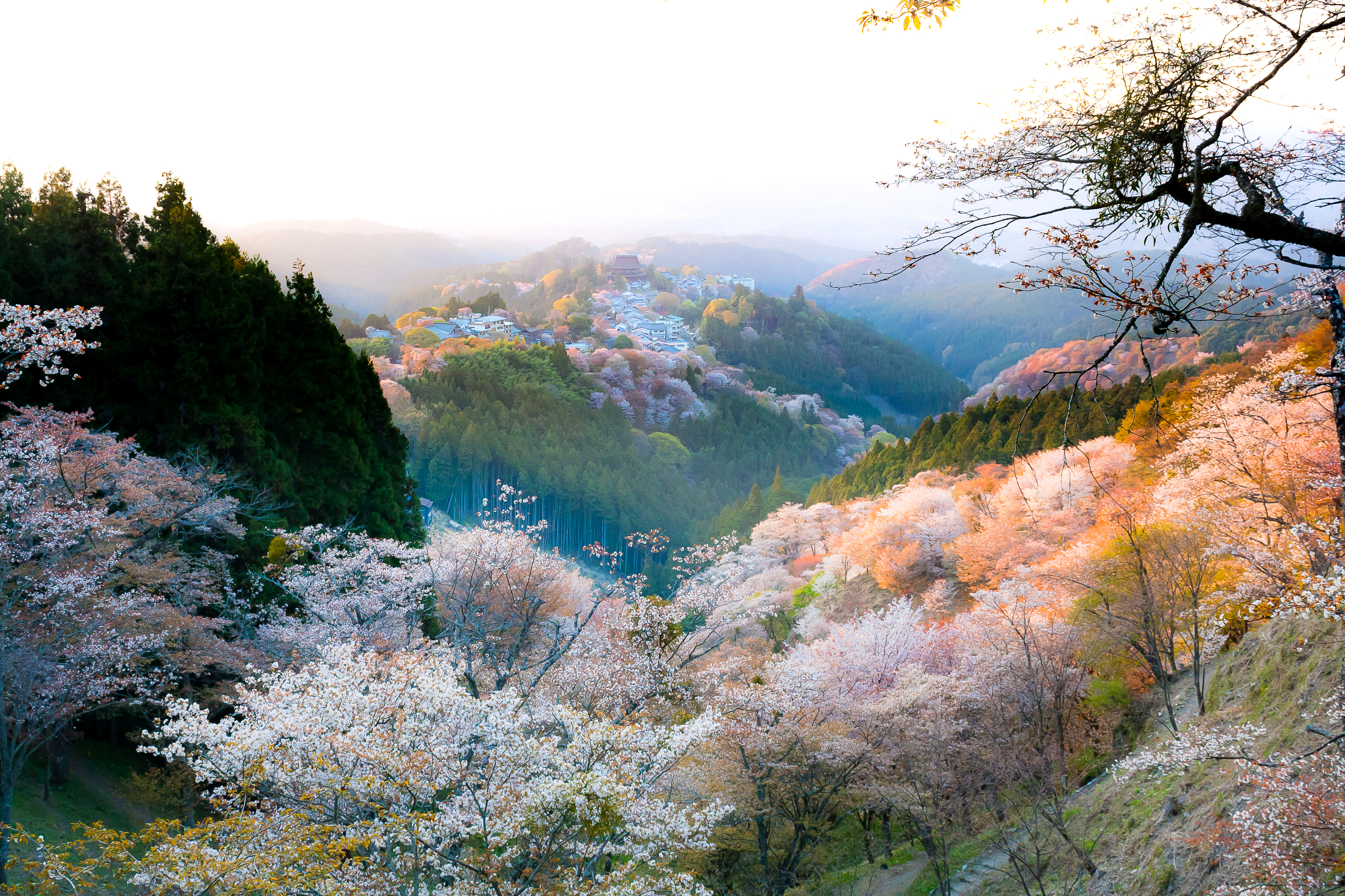 Cherry Blossom Yoshino -4