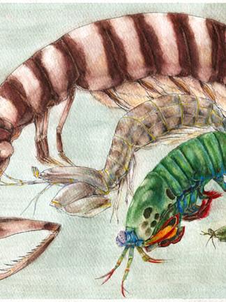 Mantis Shrimp Species