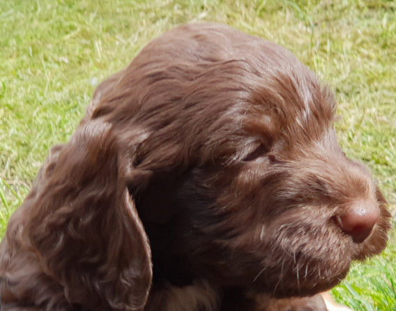 Spoodle Pup1Oct18.jpg