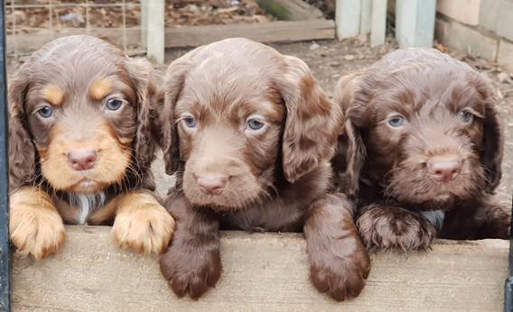 Spoodle Pups5Oct18.jpg