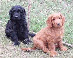 09  Spoodle pups