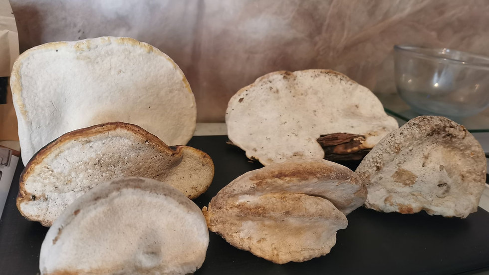 red belted polypore mushroom