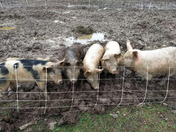 Pigs Loving the Rain