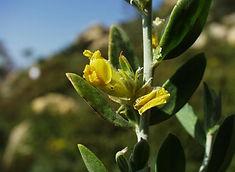Anthyllis cytisoides 01 04 2001 2.jpg