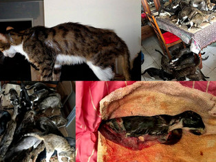 Sauvetage de 35 chats dans 35 M2