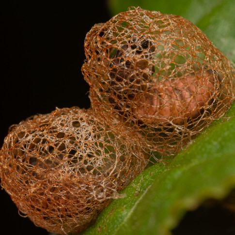 Weevil pupal cage