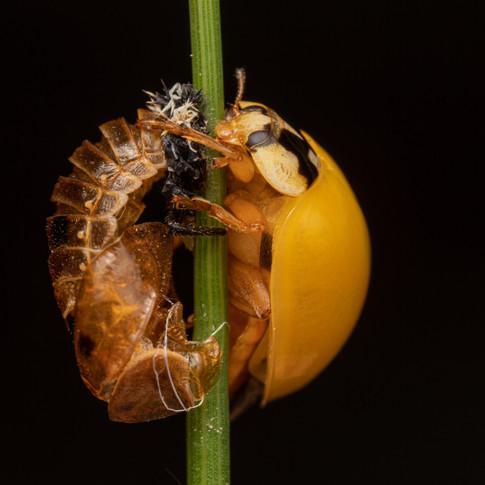 Freshly emerged ladybird with pupal case