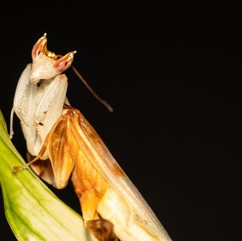 Orchid mantis - Hymenopus coronatus