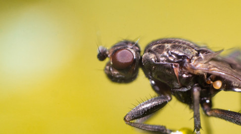 Unidentified fly - Diptera sp