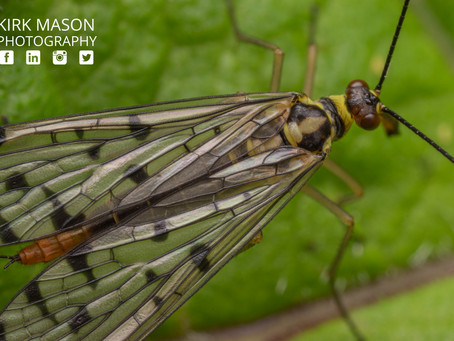 Scorpionflies – Flying Scorpions or Booty Snatching Pirates?