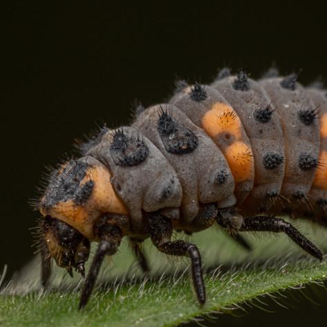 Ladybird larva