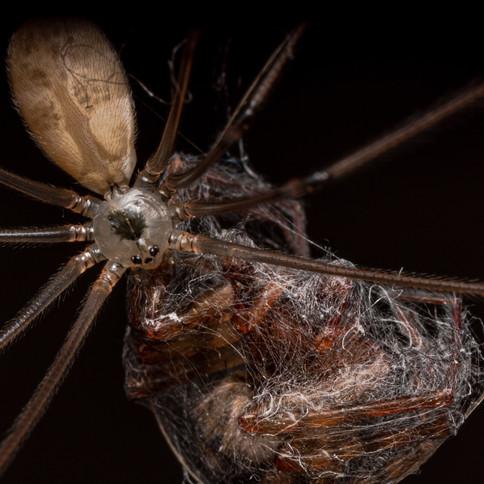 Cellar spider with lace weaver prey