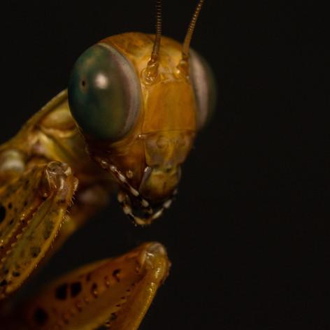 Panther mantis - Tarachodula pantherina