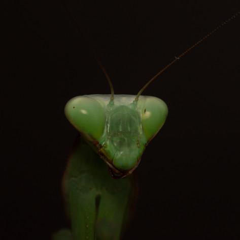 Giant Asian mantis - Hierodula sp