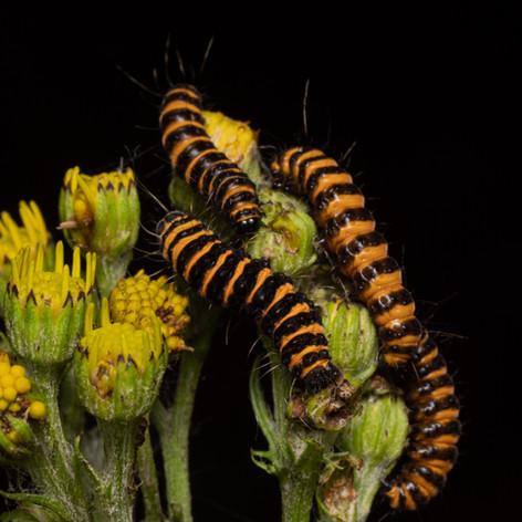 Cinnabar moth caterpillars