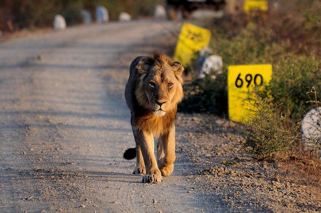 A Lion Walks At Kamleshwar Dam (6).jpeg