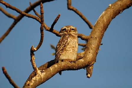 Spotted Owlets.jpeg