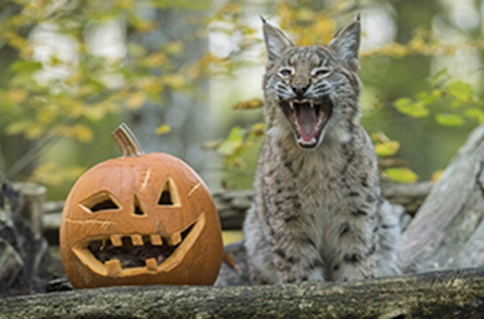 Un lynx qui crie, est assis à côté d'une citrouille