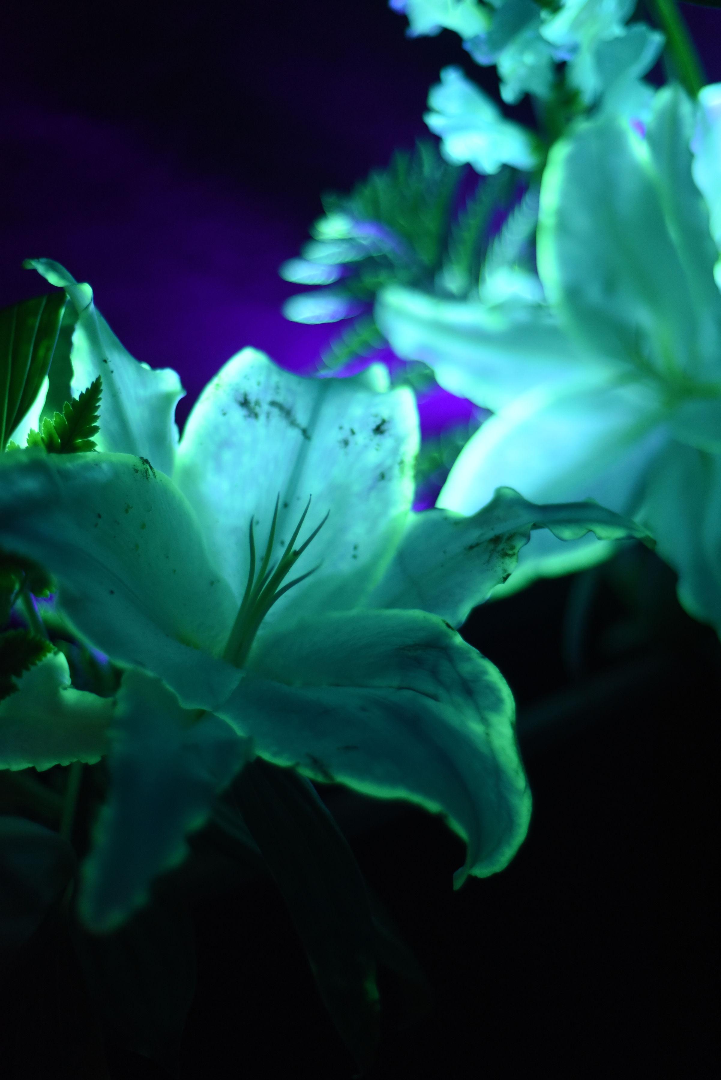 Lys luminescents