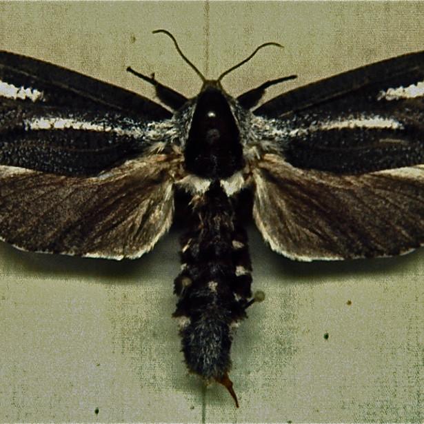 Adult Cossid Moth Male