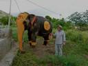 Viva 33 Elephant  Swastik Perfromance