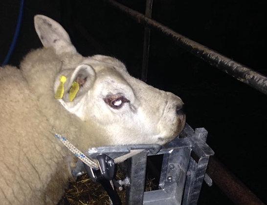Sheep Headstock