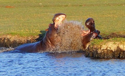Chobe National Park Hippos