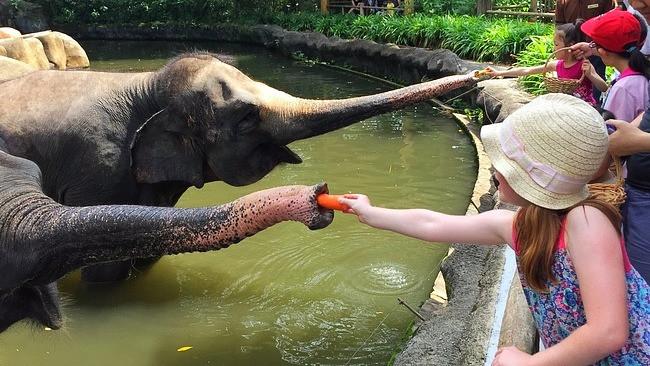 Feeding elephants Singapore zoo