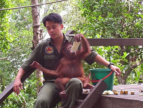 Sepilok Orangutans Sabah
