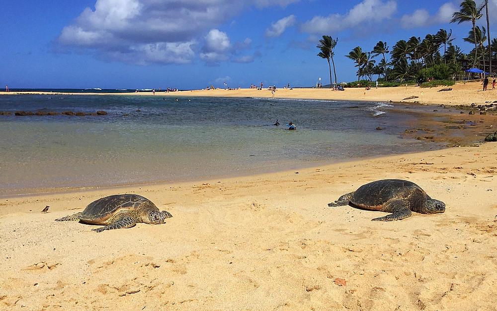 Poipu Beach sea turtles and seals