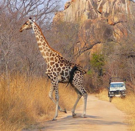 Giraffe in Zimbabwe Africa with kids