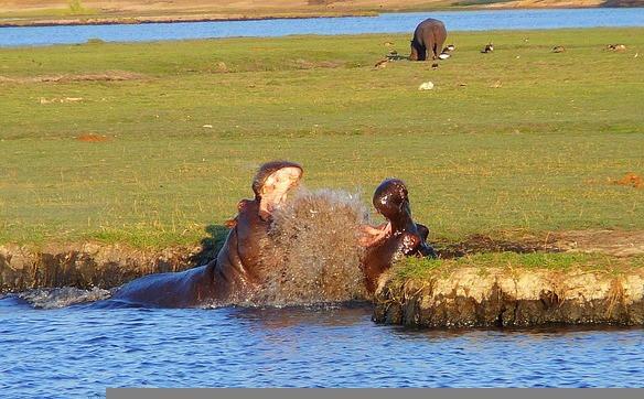 Hippos Chobe National Park
