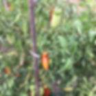 La Maison du Passant - chambres d'hotes et roulotte à chouze sur loire : seconde photo du potager