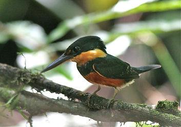 American%20Pygmy%20Kingfisher_edited.jpg